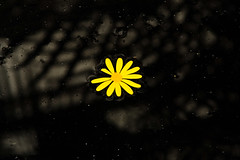 BT614 Daisy (listentoreason) Tags: plant black flower color nature closeup canon unitedstates pennsylvania favorites places daisy longwoodgardens dicot score50 asterales ef28135mmf3556isusm aplusphoto