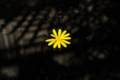 BT614 Daisy (listentoreason) Tags: plant black flower color nature closeup canon unitedstates pennsylvania favorites places daisy longwoodgardens dicot score50 asterales ef28135mmf3556isusm aplusphoto