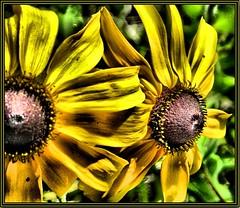 Black-eyed Susans - by K2D2vaca
