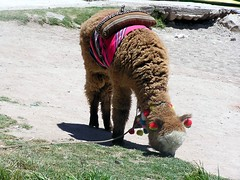 alpaca (Linda DV) Tags: travel 2004 alpaca titicaca southamerica animal fauna geotagged wildlife bolivia andes andean camelid lindadevolder