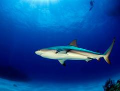shrkdvrb7719pcw (gerb) Tags: blue fish topf25 beautiful topv111 1025fav 510fav wow ilovenature shark cool topv555 topv333 underwater 500v20f topv1111 topv999 scuba fv5 loveit topv5555 pi topv777 diver d200 bahamas topv3333 animalplanet fins aquatica naturesfinest reefshark 105mmf28gfisheye amazingcolor pfo 3waychallenge 3wc tvx 3w5 colorphotoaward megashot photofaceoffwinner bfgreatesthits pfogold allmemorieswelcome