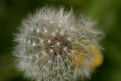 Dandelion with yellow in the Background