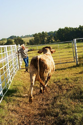 Working Calves August 2007 125