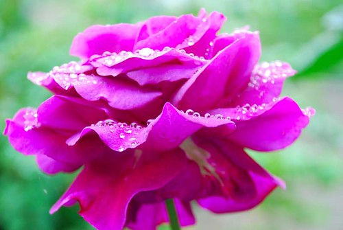 Una rosa de nuestro jardín de Londres