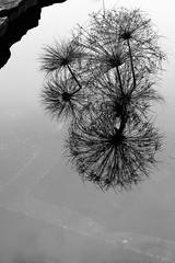 (Digitalley) Tags: blackandwhite urbannature ponds peacegarden urbannatureblog