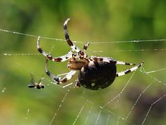 Fresh Prey (chrisee) Tags: macro net nature animal spider fly sony natur sigma cobweb eat spinne 100 mm 105 alpha makro kiel hunt tier netz jagd fliege spinnennetz botanischergarten botanicgaarden
