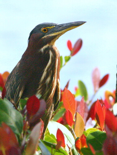 Green Heron In Cocoplum, Cropped