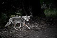 [フリー画像] 動物, 哺乳類, イヌ科, 狼・オオカミ, 201011291700