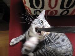 Silly Scylla 2 (portmanteaus) Tags: cats kittens guillaume scylla