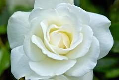 Cream Rose (wplynn) Tags: flowers white house flower rose oregon garden petals blossom petal bloom salem manor deepwood