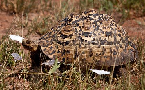 Leopard Tortoise by Swati Sani.