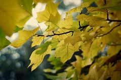 Autumn again (fuchsphoto) Tags: blue autumn green fall texture yellow sepia dark herbst natur grau scratches overlay gelb crossprocessing grn blau leafs bltter homepage dunkel postprocessing kratzer postprocessinghomepage landschaftatelierfuchs postprocessingatelierfuchs
