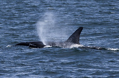 rising to the occasion (ladydipim) Tags: orca killerwhale