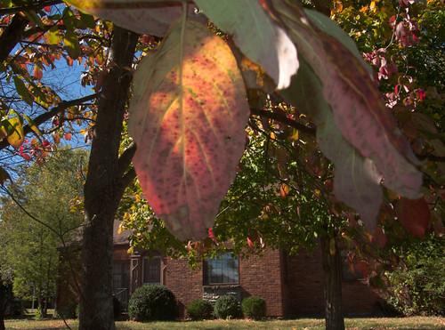 Dogwood leaf, 2