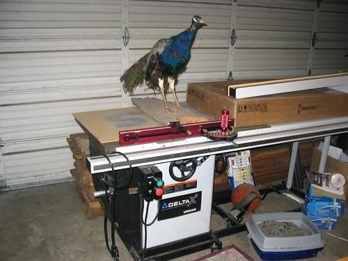 LJ the Peacock