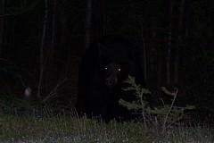 Bear eyes at night - photo#17