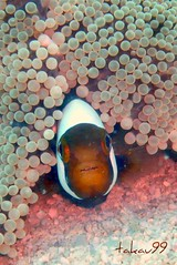 Saddleback Clownfish