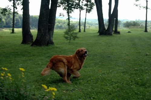 one of kelli's golden retrievers