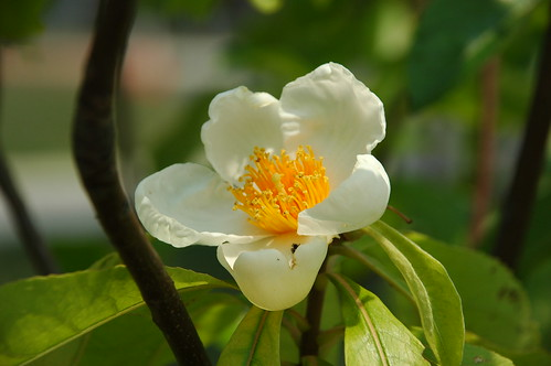 Flower of Franklinia alatamaha