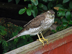 Look out (Mr Grimesdale) Tags: bird hawk sony predator birdsofprey birdofprey sparrowhawk britishbirds mrgrimsdale gardenbird stevewallace dsch2 mrgrimesdale grimesdale