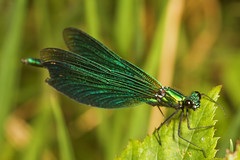 """Male Beautiful Demoiselle Damselfly ((4) • <a style=""""font-size:0.8em;"""" href=""""http://www.flickr.com/photos/57024565@N00/1340789330/"""" target=""""_blank"""">View on Flickr</a>"""
