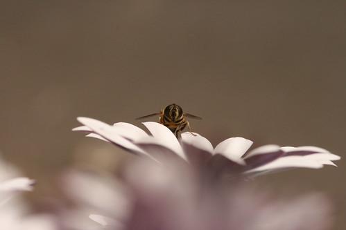 Hover Fly on Daisy 4