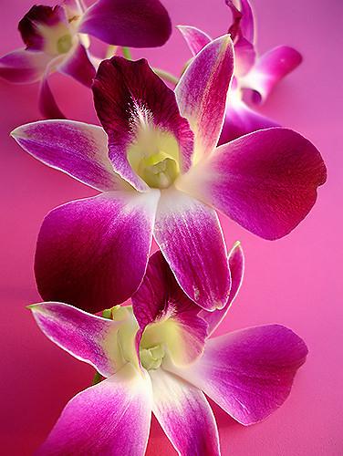 rosa-orquídea