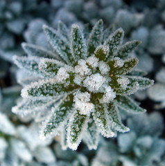 hard frost (perseverando) Tags: flowers winter cold flower macro ice closeup frost crystals hard encrusted naturesfinest masterphotos perseverando macroflowerlovers vosplusbellesphotos