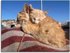 Two kitten (denismartin) Tags: animal cat kitten morocco maroc essaouira mogador denismartin