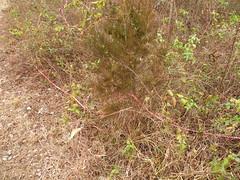 DSCN5326butterfly milkwee pod (Aubunique) Tags: icestorm treesdamaged worldpeacewetlandprairie january2009 swampmilkweedpod fayettevilear hackberrytreedown dovehabitat