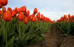 28 april 2010, Tulpenvelden (Sierag) Tags: flowers flower holland netherlands flora tulips nederland natuur tulip alkmaar bollen noordholland tulpen bloem flowerart voorjaar bollenveld bollenvelden tulpenvelden tulipans boekelermeer dutchtulips bloembollen dutchflowers tulpenbollen tulpenbol zeevantulpen rogierghislaindebusbecq busbecq tulpenbollenhandel charlesdelecuse tulpenteelt tulpenveiling tulpenhandel