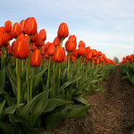 28 april 2010, Tulpenvelden thumbnail