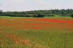 Summer Dream (ivlys) Tags: summer nature field barley landscape feld poppies darmstadt gerste mohnblumen oberfeld ivlys
