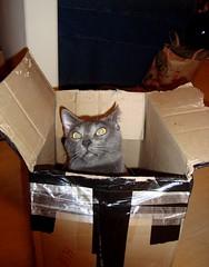 Wyatt looks crazy (Smeebot) Tags: blue cute cat kitten play box gray cardboard russian wyatt