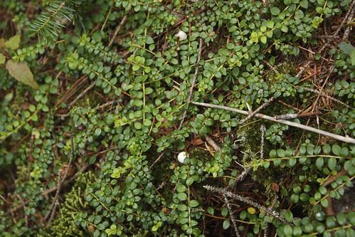 Wild cranberries (5)