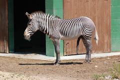 Boise Zoo 2006 (aka Peabody) Tags: male animals d50 penis happy zoo nikon thing stripes excited boise zebra peabody unit gonads wangdangly