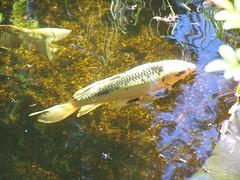 MH033 (Photo Munki) Tags: fish fauna pond goldfish watergarden koi fishes dragonfish koipond aquaticlife moorehaven butterflykoi nishikigoi longfinkoi moorhavenwatergardens dragonkoi