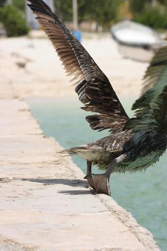 Bye Pelican Bye