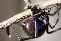 Black Widow Spider - by peasap