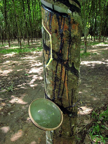 Whoops, there goes another rubber tree plant