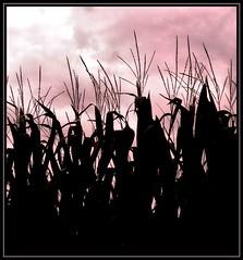 corn silhouette - by K2D2vaca
