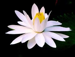 Princess Lily's Sister (Ibnu Yusuf) Tags: flowers pond lily malaysia selangor shahalam waterplant tropicalflowers h5 naturesfinest impressedbeauty ibnuyusuf