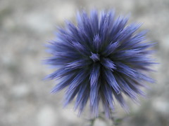 Cardo yesquero (Echinops rito) (Brookei) Tags: blue espaa flower nature spain flora zaragoza aragn naturesfinest valmadrid platinumphoto colorphotoaward a3b canoniani cardoyesquero echinopsrito cardoyesqueroechinopsrito wonderfulworldofflowers