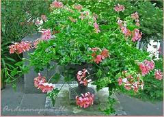 Have a joyful Sunday my Flickr Friends.. (Andriana.pamella) Tags: panorama flower nature garden bloom vase blooming blueribbonwinner supershot abigfave impressedbeauty impressedbyyourbeauty flowersmakeeveryonehappy andrianapamella