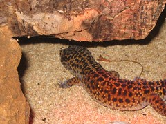 bye bye (s'nifer) Tags: pet reptile lizard gecko leopardgecko