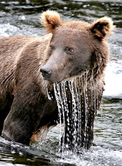 Grizzly in the Water (Rob Kroenert) Tags: bear park usa water alaska river fishing wildlife national grizzly dripping katmai katmainationalpark sfchronicle96hrs