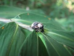 オジロアシナガゾウムシ (kobayan54) Tags: 虫