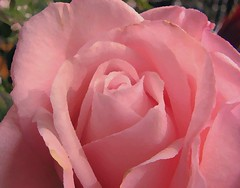 May your week end be as pink as this rose! ( Popotito ) Tags: pink naturaleza flower macro nature beautiful rose closeup manipulated wonderful watercolor painting foto photographer friendship photos flor gimp rosa fotos precious preciosa watercolour bella acuarela amateur enhanced amistad rosada pintura fotografo manipulada tratada mejorada maravillosa anawesomeshot popotito