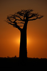 Baobabträd i solnedgången
