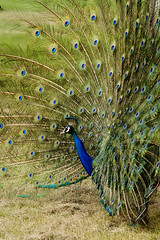 Peacock Dancing (Captain Suresh Sharma) Tags: blue india bird nature beauty animal spread dance asia dancing delhi feathers spots longneck majestic naturephotography plumage backyardwildlife indianwildlife hackle wildlifeofindia armyarea captsureshsharma